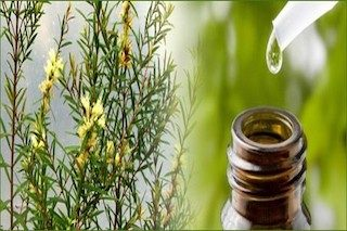 Aroma of the Month for January – Tea Tree Oil