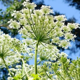 Aromatherapy Oil of the Month – Angelica