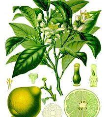Aromatherapy of the Month – November – Bergamot