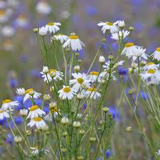 Victoria's Oil for the Month of March – Blue Chamomile