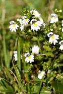 Euphrasia – Our Homeopathic remedy for July