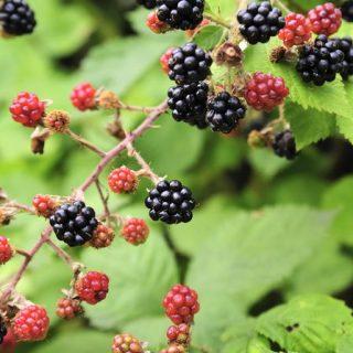 Nicky The Nutritionist's Recipe for September – Blackberry, apple and almond cobbler