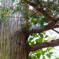 Victoria's oil for November – Cedar