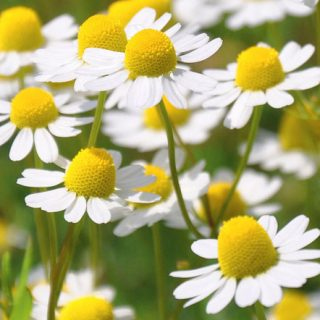 Victoria's oil for December – Roman Chamomile