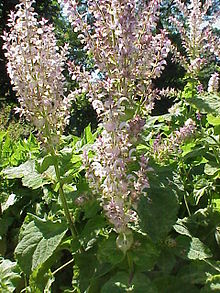 Victoria's oil for the month of March – Clary Sage